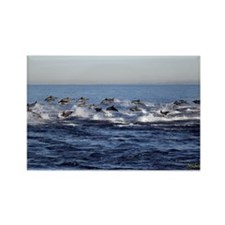 Dolphin Stampede Magnets