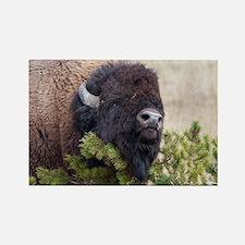 Bull Bison Magnets