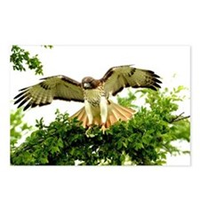 Texas Red Tail Hawk Postcards (Package of 8)
