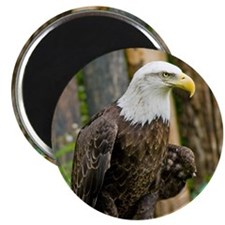 Bald Eagle Looking Magnet