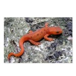 Salamander Postcards (Package of 8)