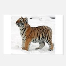 Tiger_2015_0118 Postcards (Package of 8)