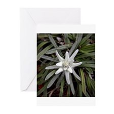 White Alpine Edelweiss Flower Greeting Cards