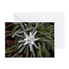 White Alpine Edelweiss Flower Greeting Card