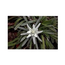 White Alpine Edelweiss Flower Magnets