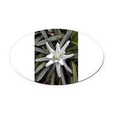White Alpine Edelweiss Flower Oval Car Magnet