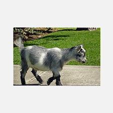 Pygmy Goat Magnet