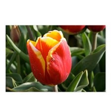 Yellow-Tipped Tulip Postcards (Package of 8)