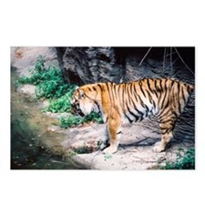 Tiger by the Water Postcards (Package of 8)