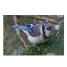 Bluejay Postcards (Package of 8)
