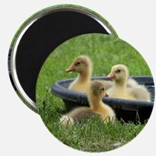 Three little goslings wildlife in the morni Magnet