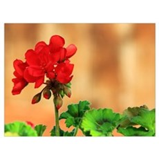 Red Geranium Flower Canvas Art