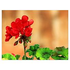 Red Geranium Flower Poster