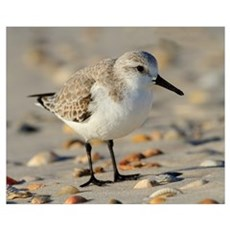 Sand Piper and Seashells Poster