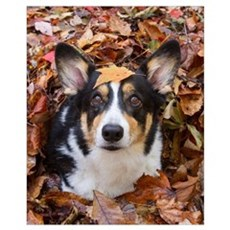 Corgi and Fall Leaves Poster