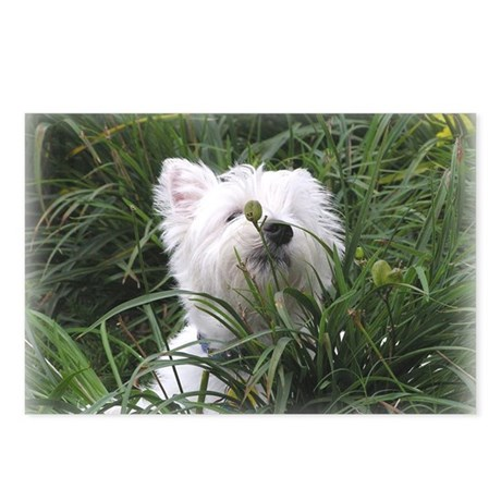 Nature Boy Westie Postcards (Package of 8)
