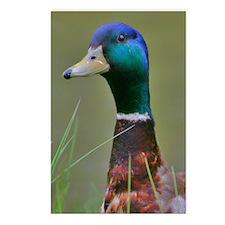 Mallard Duck Postcards (Package of 8)