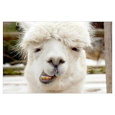 Funny Alpaca Smile Poster