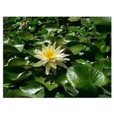 Water Lily Rising Poster