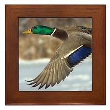 Mallard Duck Framed Tile