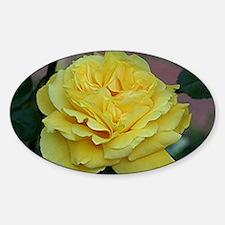 Yellow rose flower in bloom in gard Decal