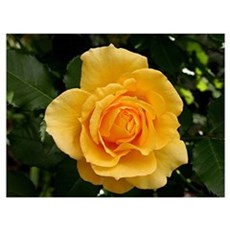 Yellow rose flower in bloom in garden 2 Framed Print