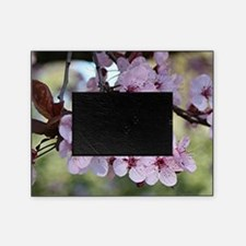 Cherry blossoms in spring time Picture Frame
