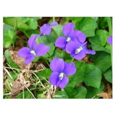 Are Violets Blue? Poster