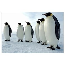 Lined up Emperor Penguins Framed Print