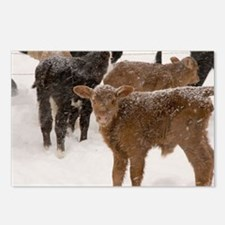 Calves in The Snow Postcards (Package of 8)