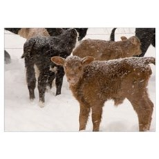 Calves in The Snow Poster