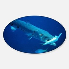 Barracuda eating its prey Sticker (Oval)