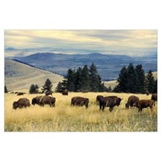 National Parks Bison Herd Poster