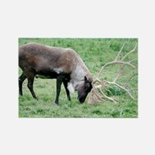 Caribou with Large Antlers Rectangle Magnet
