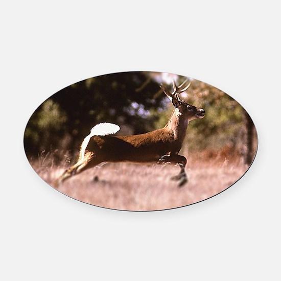 White-Tail Deer Running  Oval Car Magnet