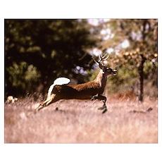 White-Tail Deer Running  Poster