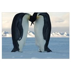 Emperor Penguin Courtship Framed Print