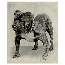 Vintage English Bulldog Photograph Poster
