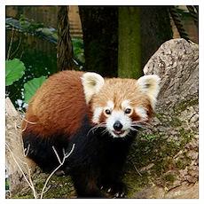 Red Panda 415P1 Poster