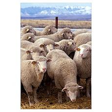Sheep Herd Poster