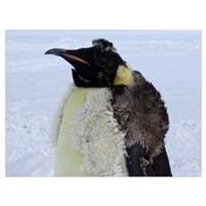 Molting Emperor Penguin  Poster