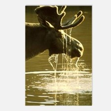 Moose Dipping His Head In Postcards (Package of 8)