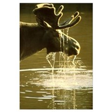 Moose Dipping His Head Into Water Framed Print
