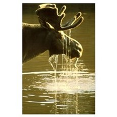 Moose Dipping His Head Into Water Poster