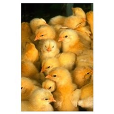 Little Yellow Chicks  Poster