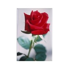 Beautiful Red Rose Rectangle Magnet