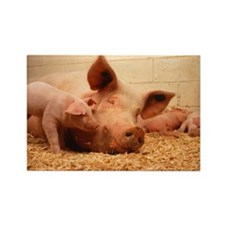 Sow and Piglets Rectangle Magnet