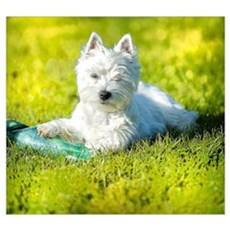 Cute Westie in Grass  Poster