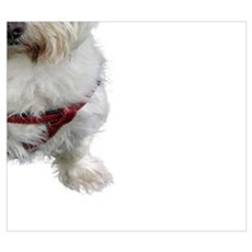 Cute West Highland Terrier Poster