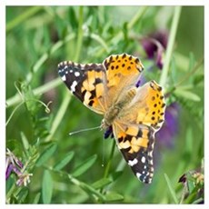 Painted Lady Butterfly Framed Print